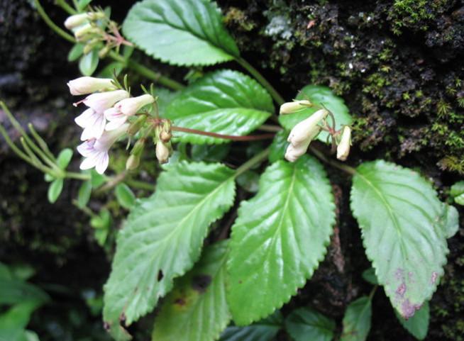 东南长蒴苣苔