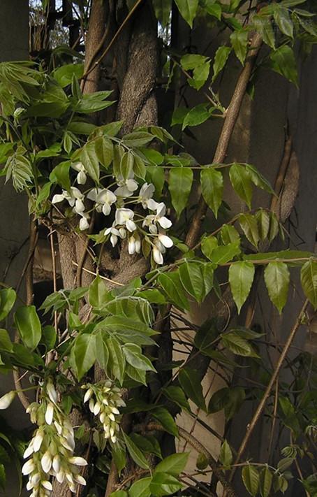 四季素馨花