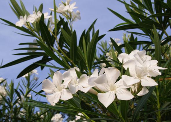 白色夹竹桃