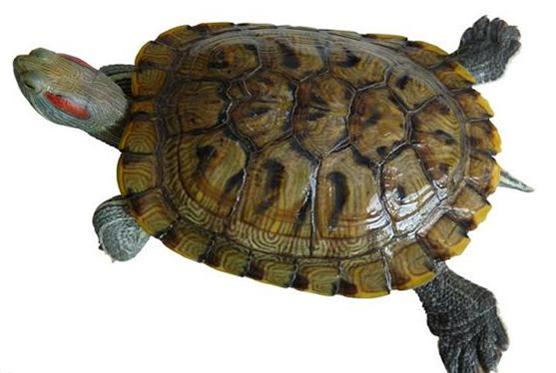 Turtle Meat Tcm Herbs Tcm Wiki