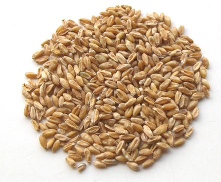 浮小麦 Fu Xiao Mai