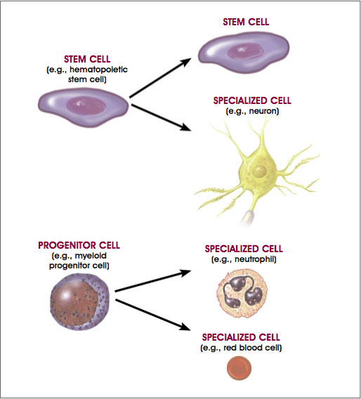 Origin of the blood cell