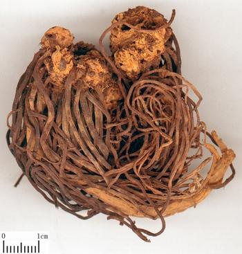 Tatarian Aster Root - TCM Herbs - TCM Wiki